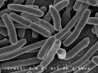 EColi Bakterien